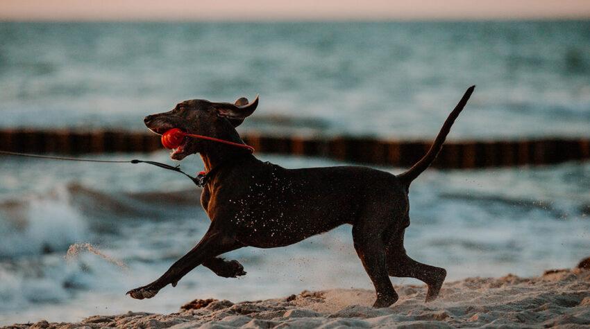 Wie der Blitz über den Ostseestrand fegen und dem Spielzeug hinterher jagen: Das geht besonders gut in der Nebensaison in Ahrenshoop.
