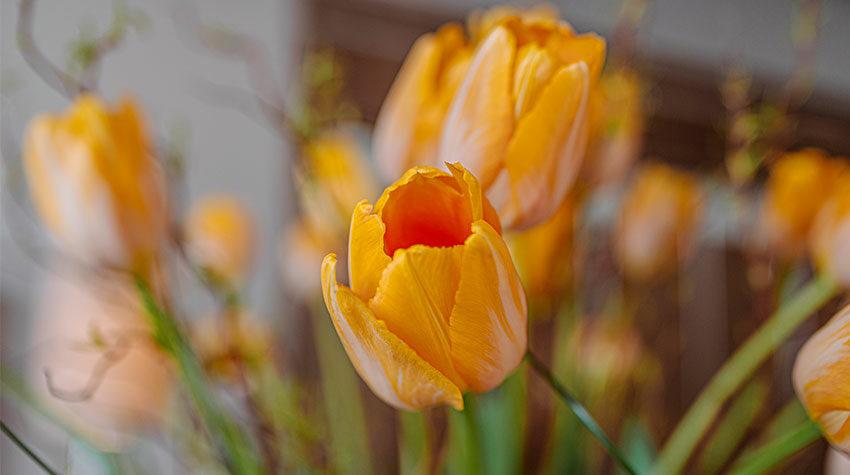 Es gibt sie in allen erdenklichen Farben, doch welche Bedeutung haben Tulpen?