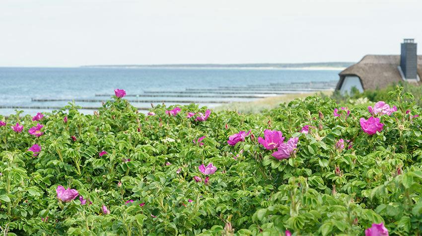 Ahrenshoop ist der perfekte Ort für einen rundum gelungenen Ostseeurlaub. © Shutterstock, ThomBal